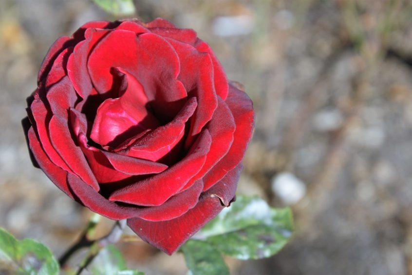 Eine Rose erinnert an Opfer des KZ Dachau